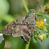 Long-tailed Skipper.