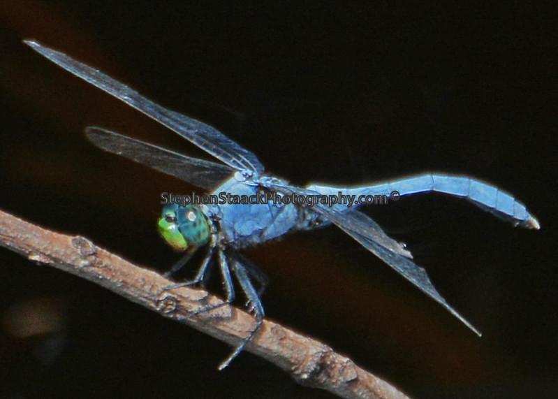 Eastern Pondhawk Dragonfly.