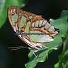 Ventral view of Gulf Fritillary.