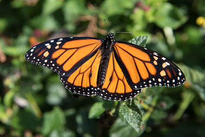 Monarch (Danaus plexippus) - Male