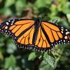Monarch (Danaus plexippus) - Male