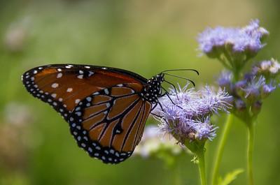 Queen Butterfly (Danaus gilippus) on Gregg's Mistflower (Conoclinium greggii)