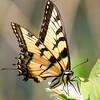 Eastern Tiger Swallowtail, Okefenokee NWR, GA