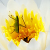 Grasshopper in a Fragrant Water Lily, Okefenokee NWR, GA