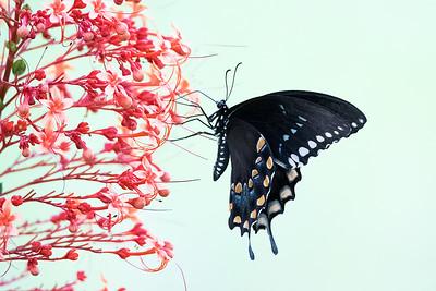Spicebush Butterfly on Pagoda Flower