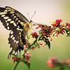 Giant Swallowtail on Russelia Sarmentosa flower