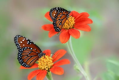 (A101) Queen Butterflies on Mexican Sunflower (Tithonia)