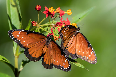 Queen Butterflies on Tropical Milkweed
