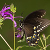 Pipevine Swallowtail, Jefferson County, FL