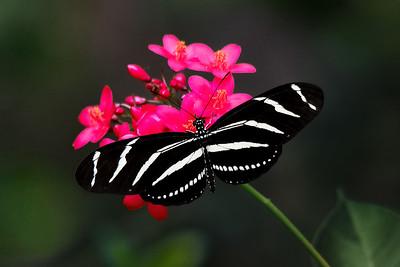 Zebra Longwing Butterfly on Jatropha