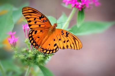 Gulf Fritillary Butterfly on Pink Pentas