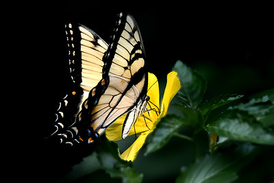 Tiger Swallowtail on Cuban Buttercup
