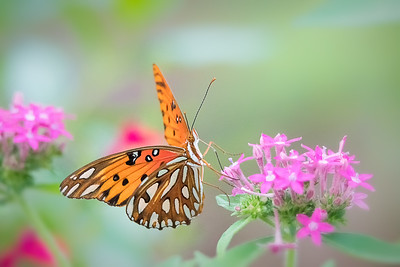 Gulf Fritillary Butterfly on Pentas Flower