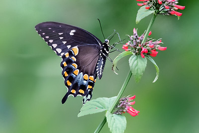 Spicebush Butterfly feeding on Russelia Sarmentosa