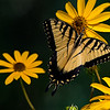 Male Tiger Swallowtail on Swamp Sunflower