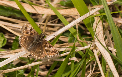 Dingy Skipper 2