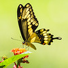 Giant Swallowtail, Falling Waters State Park, FL