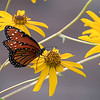 Queen Butterfly on Swamp Sunflower