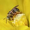 Long-horned Bee, St Marks NWR, FL