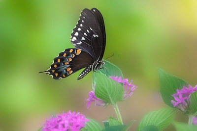 Spicebush Butterfly on Pink Pentas