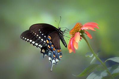 Spicebush Butterfly on Mexican Sunflower (Tithonia)