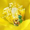 Sweat Bee (Metallic Green), St Marks NWR, FL