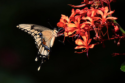 Giant Swallowtail on Clerodendrum Flower