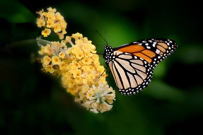 Monarch Butterfly on Golden Globe Buddleia