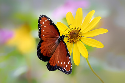 (A109) Queen Butterfly on Swamp Sunflower