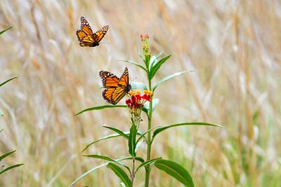 (A92) Monarch Butterflies on Milkweed