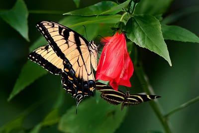 Eastern Tiger Swallowtail and Zebra Longwing on Turks Cap Flower
