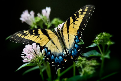 Tiger Swallowtail on Pentas flower