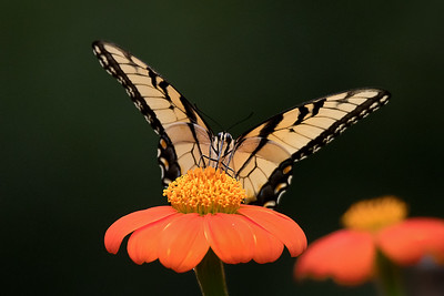 The underside of a Male Eastern Tiger Swallowtail