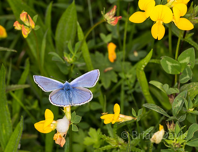 Common Blue 5