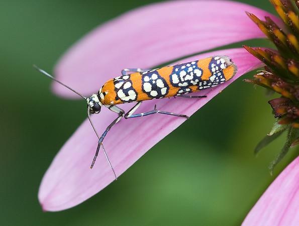 Ailanthus Webworm Moth, Wood County
