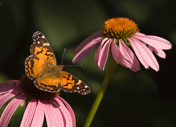 American Painted Lady, Wood County