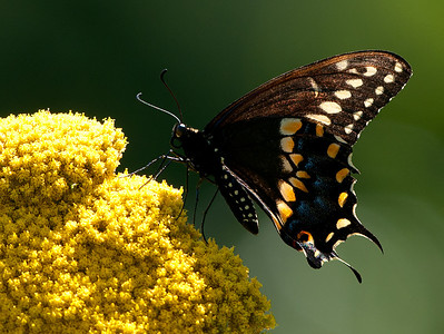 Black Swallowtail, Wood County