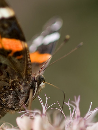 Red Admiral Butterfly, Wood County