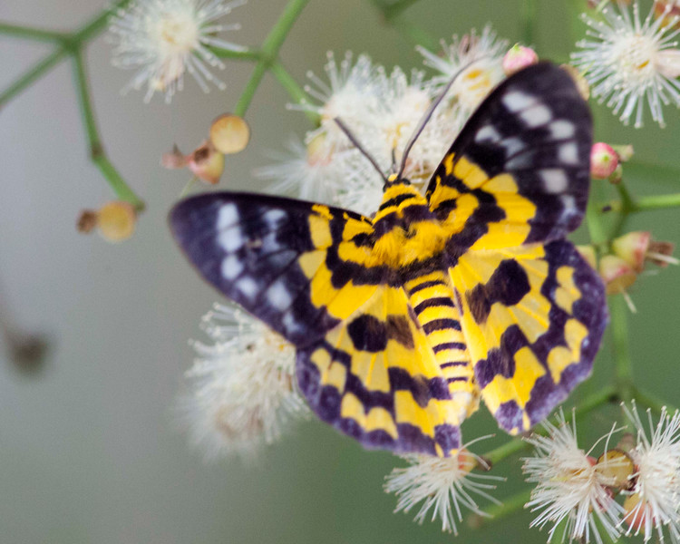 False Tiger Moth (Dysphania militaris)