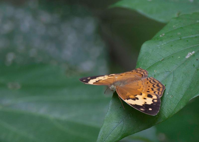 Rustic (Nymohis) Cupha erymathis