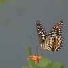 Lime Butterfly (papilo demoleus)
