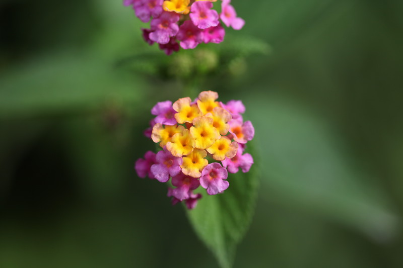 Lantana-favourite butterfly food