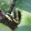 Common Mine caterpillar