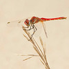 Sympetrum fonscolombii - Zwervende heidelibel - Red-veined Darter