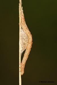 Euclidea glyphica - Bruine daguil - Burnet Companion Moth