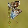 Plebejus argus - Heideblauwtje - Silver-studded Blue - Niña hocecillas