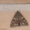 Catocala nupta - Rood weeskind - Red underwing