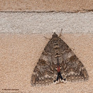 Catocala nupta - Rood weeskind - Red underwing