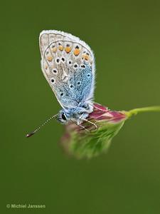 Polyommatus icarus - Icarusblauwtje - Common Blue - Azul común, Ícaro