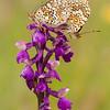 Melitaea phoebe - Knoopkruidparelmoervlinder - Knapweed Fritillary